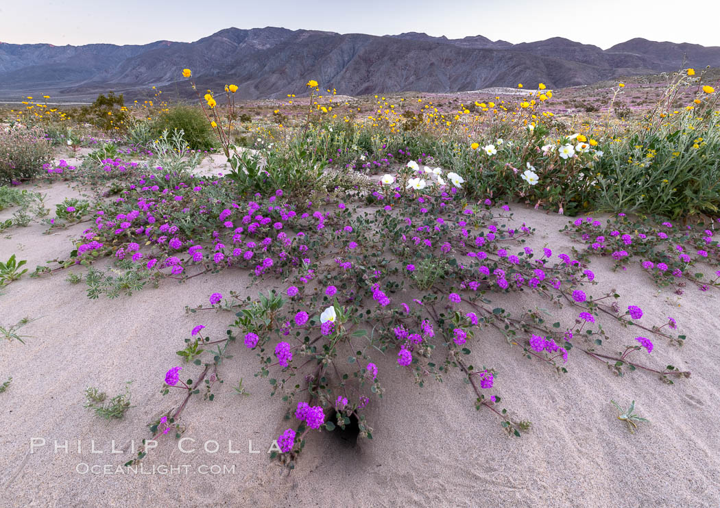 Sand verbena wildflowers on sand dunes, Anza-Borrego Desert State Park. Borrego Springs, California, USA, Abronia villosa, natural history stock photograph, photo id 35219