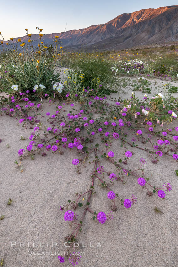 Sand verbena wildflowers on sand dunes, Anza-Borrego Desert State Park. Borrego Springs, California, USA, Abronia villosa, natural history stock photograph, photo id 35205