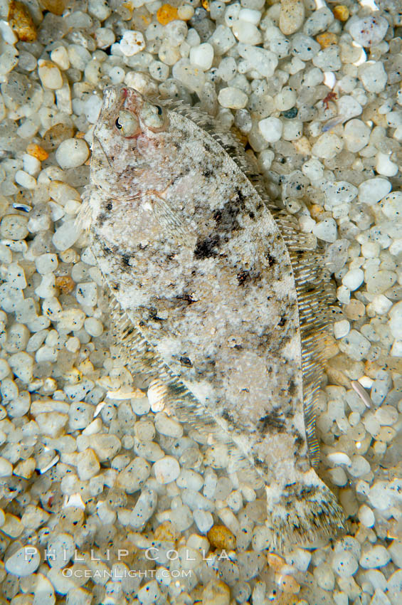 A small (2 inch) sanddab is well-camouflaged amidst the grains of sand that surround it., Citharichthys, natural history stock photograph, photo id 14938