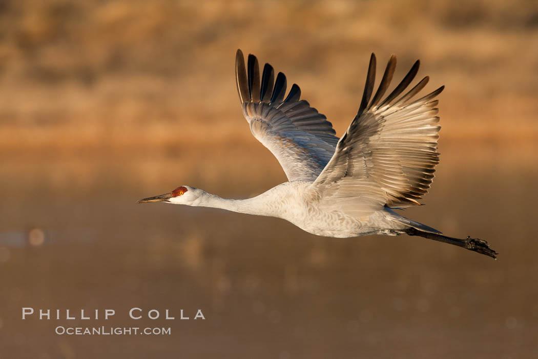 Sandhill crane in flight, wings extended. Bosque Del Apache, Socorro, New Mexico, USA, Grus canadensis, natural history stock photograph, photo id 26202