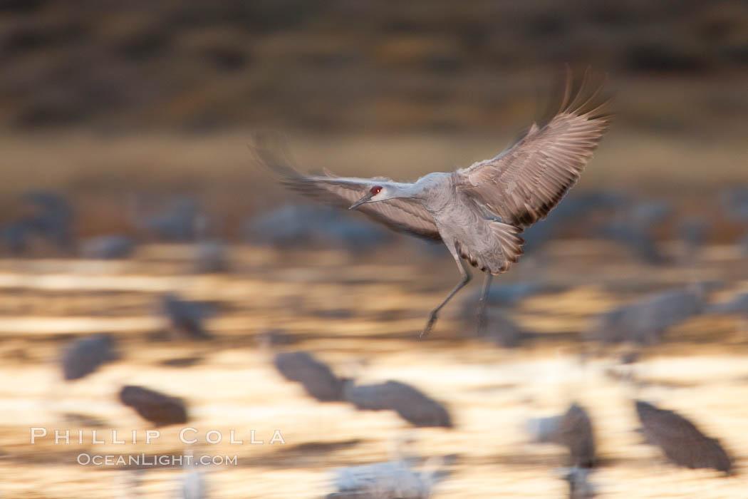 Sandhill crane in flight, wings are blurred in a long time exposure. Bosque Del Apache, Socorro, New Mexico, USA, Grus canadensis, natural history stock photograph, photo id 26244
