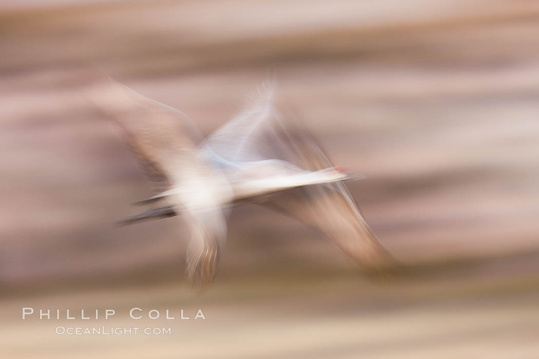 Sandhill crane in flight, wings are blurred in a long time exposure. Bosque Del Apache, Socorro, New Mexico, USA, Grus canadensis, natural history stock photograph, photo id 26247