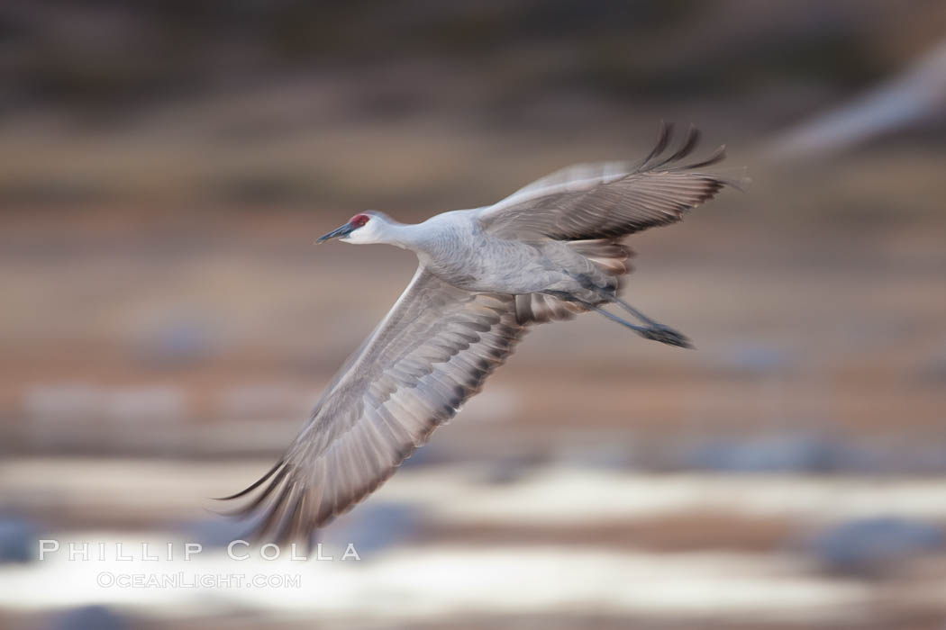 Sandhill crane in flight, wings are blurred in a long time exposure. Bosque Del Apache, Socorro, New Mexico, USA, Grus canadensis, natural history stock photograph, photo id 26282
