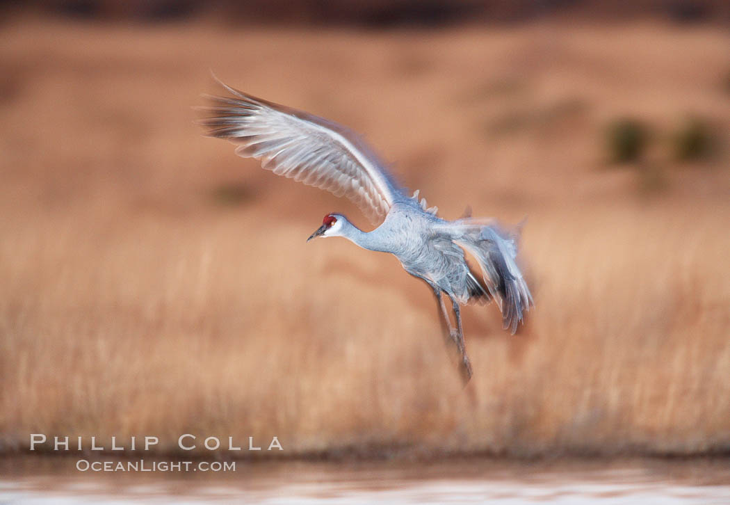 Sandhill crane in flight, in dim sunset light, wings blurred due to time exposure. Bosque del Apache National Wildlife Refuge, Socorro, New Mexico, USA, Grus canadensis, natural history stock photograph, photo id 21824
