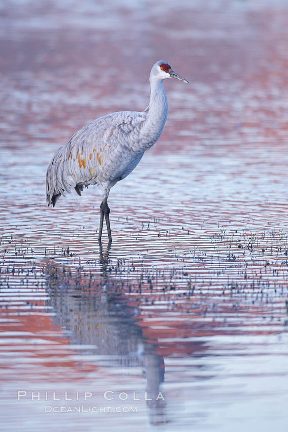 Sandhill crane resting in a shallow pond, reflected in still water with soft predawn light. Bosque del Apache National Wildlife Refuge, Socorro, New Mexico, USA, Grus canadensis, natural history stock photograph, photo id 21962