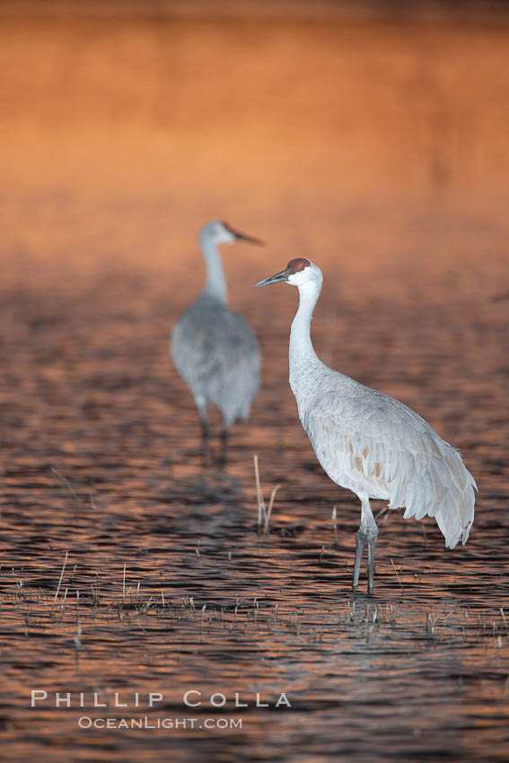 Image 21976, A sandhill cranes, standing in still waters with rich gold sunset light reflected around it. Bosque del Apache National Wildlife Refuge, Socorro, New Mexico, USA, Grus canadensis, Phillip Colla, all rights reserved worldwide. Keywords: animal, animalia, aves, bird, bosque del apache, bosque del apache national wildlife refuge, bosque del apache nwr, canadensis, chordata, crane, creature, gruidae, gruiformes, grus, grus canadensis, national wildlife refuge, national wildlife refuges, nature, new mexico, sandhill crane, socorro, usa, vertebrata, vertebrate, wildlife.