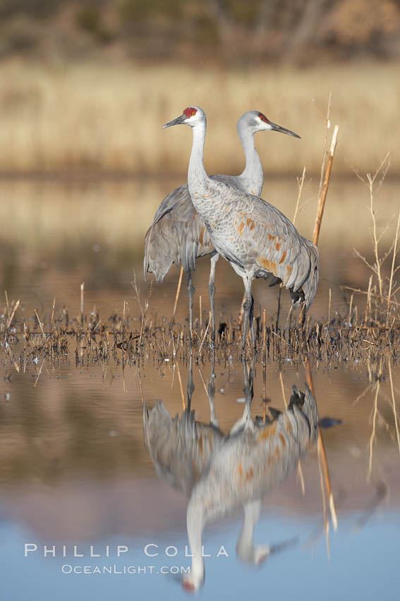 Two sandhill cranes, reflected in mirror-still waters at sunrise. Bosque del Apache National Wildlife Refuge, Socorro, New Mexico, USA, Grus canadensis, natural history stock photograph, photo id 21971