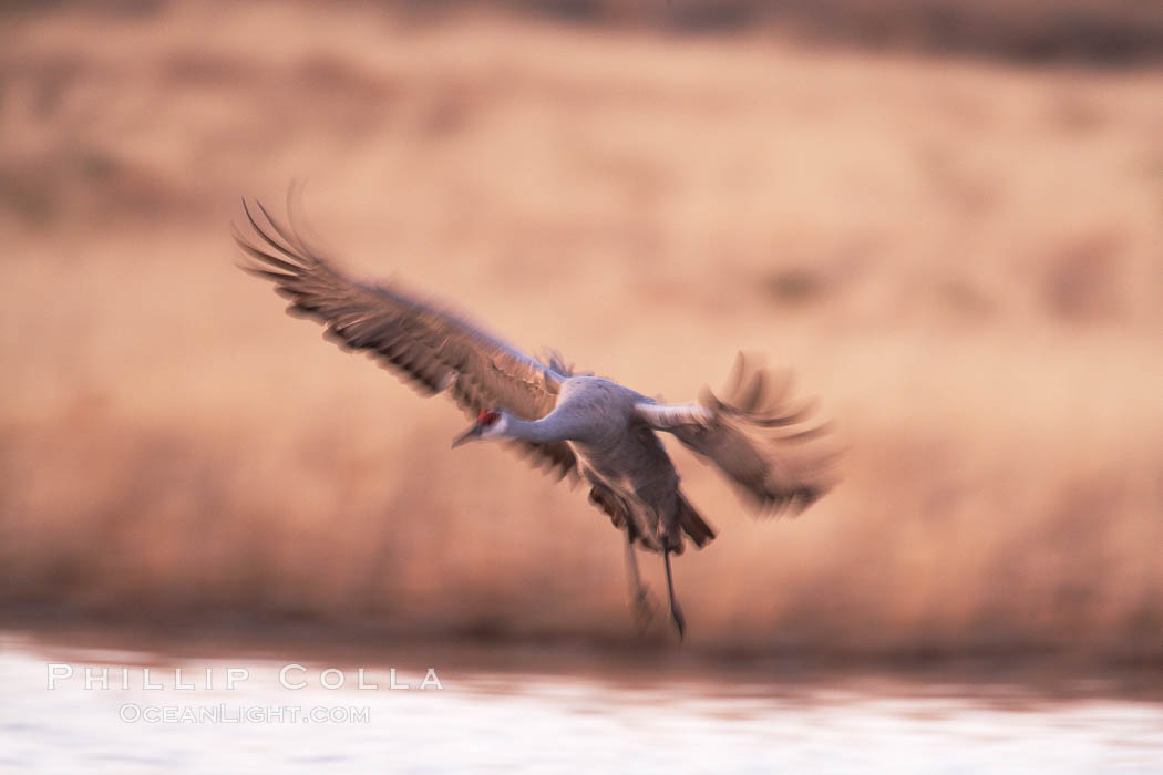 Sandhill crane, blurred by long time exposure, slows to land on a pond. Bosque del Apache National Wildlife Refuge, Socorro, New Mexico, USA, Grus canadensis, natural history stock photograph, photo id 21876