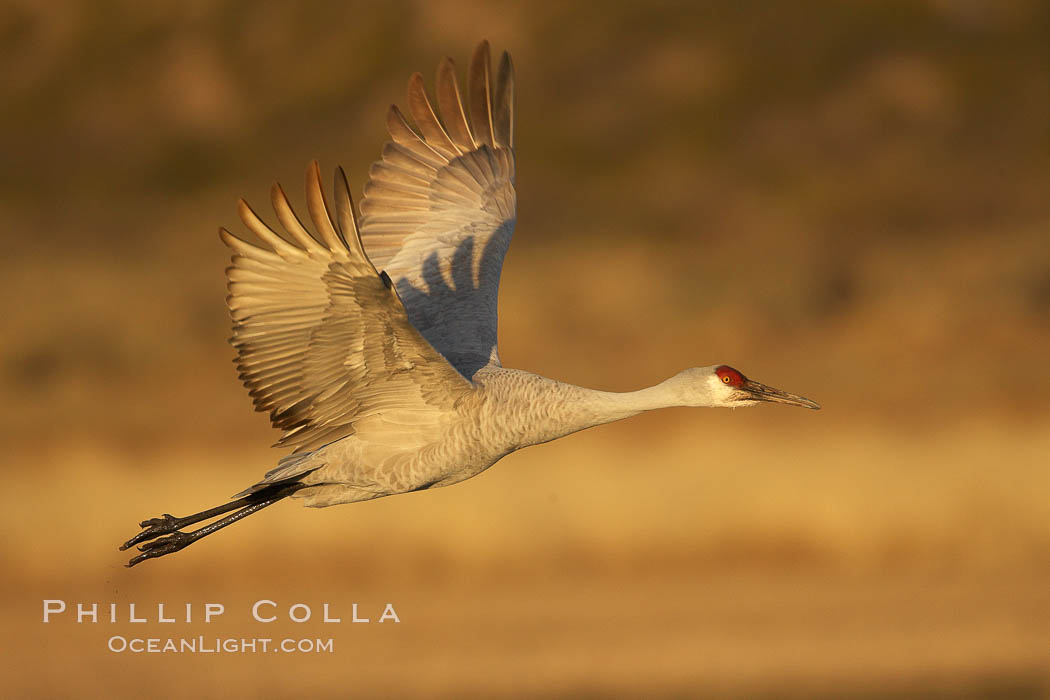 A sandhill crane in flight, spreading its wings wide which can span up to 6 1/2 feet. Bosque del Apache National Wildlife Refuge, Socorro, New Mexico, USA, Grus canadensis, natural history stock photograph, photo id 21928