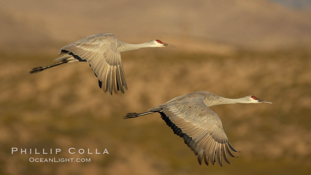 Two sandhill cranes flying side by side. Bosque del Apache National Wildlife Refuge, Socorro, New Mexico, USA, Grus canadensis, natural history stock photograph, photo id 21943