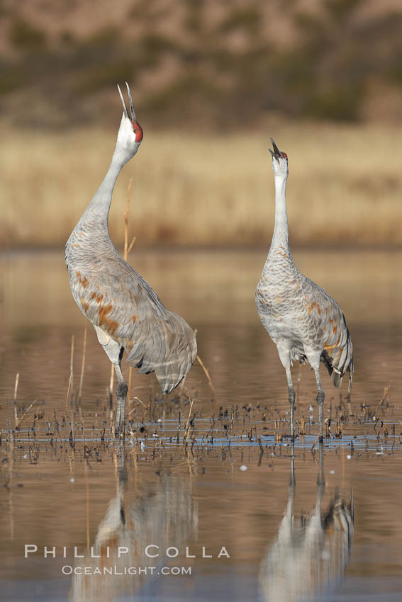 Two sandhill cranes, reflected in mirror-still waters at sunrise. Bosque del Apache National Wildlife Refuge, Socorro, New Mexico, USA, Grus canadensis, natural history stock photograph, photo id 21873