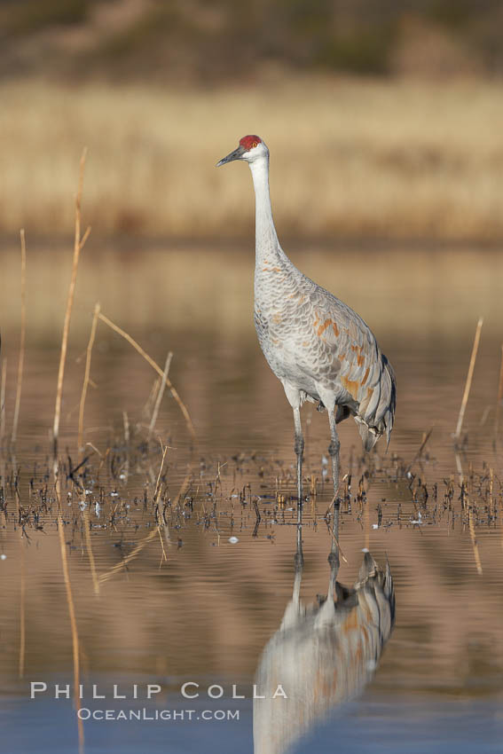 A sandhill crane is perfectly reflected, in mirror-calm waters at sunrise. Bosque del Apache National Wildlife Refuge, Socorro, New Mexico, USA, Grus canadensis, natural history stock photograph, photo id 22032
