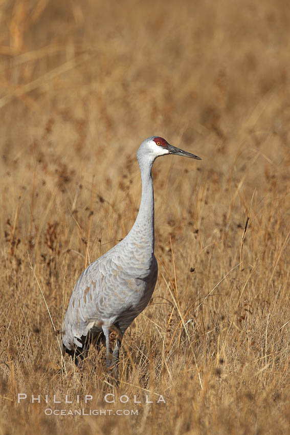 Sandhill crane portrait, as it stands while foraging in grass. Bosque del Apache National Wildlife Refuge, Socorro, New Mexico, USA, Grus canadensis, natural history stock photograph, photo id 21940