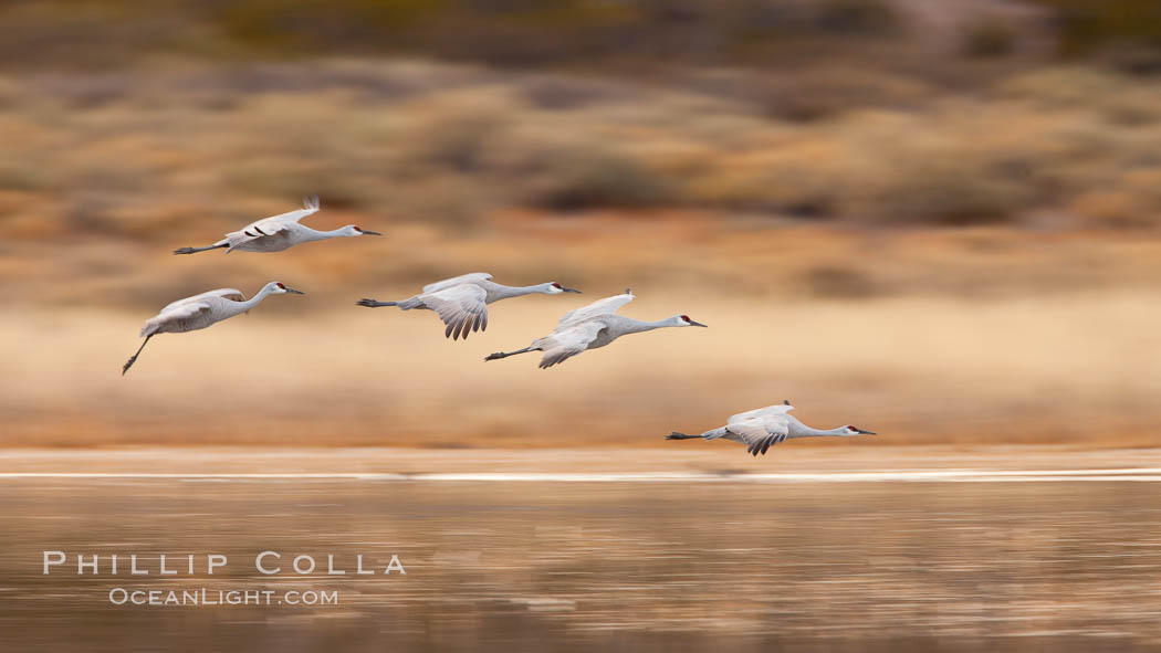 Sandhill cranes flying, wings blurred from long time exposure. Bosque Del Apache, Socorro, New Mexico, USA, Grus canadensis, natural history stock photograph, photo id 26224
