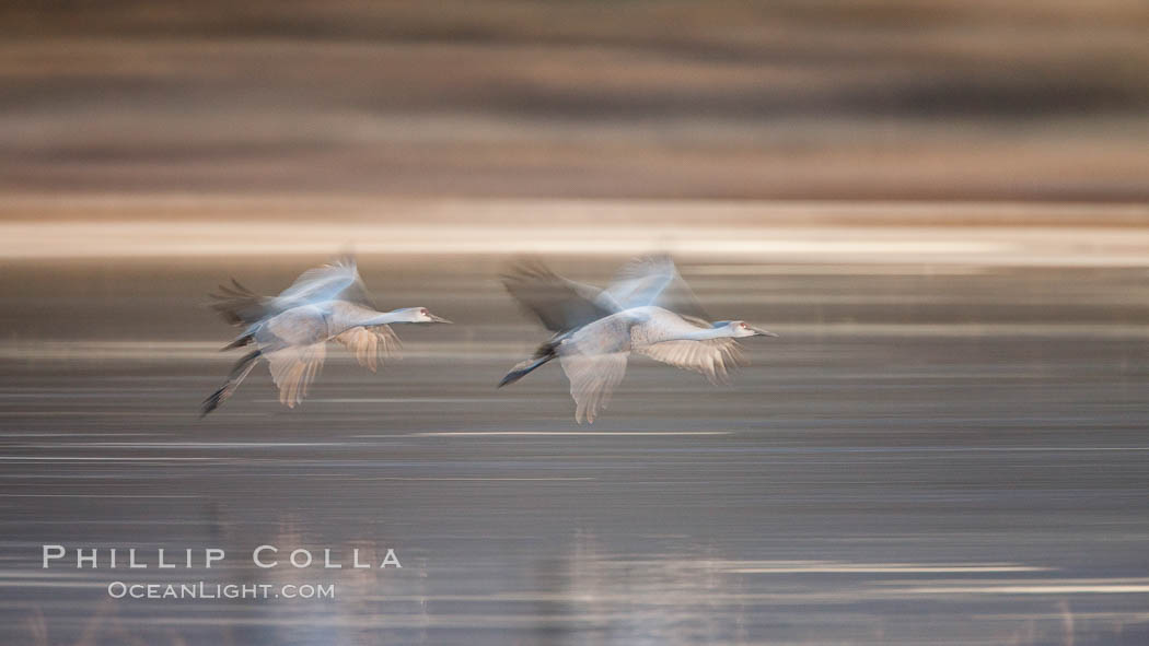 Sandhill cranes flying, wings blurred from long time exposure. Bosque Del Apache, Socorro, New Mexico, USA, Grus canadensis, natural history stock photograph, photo id 26264