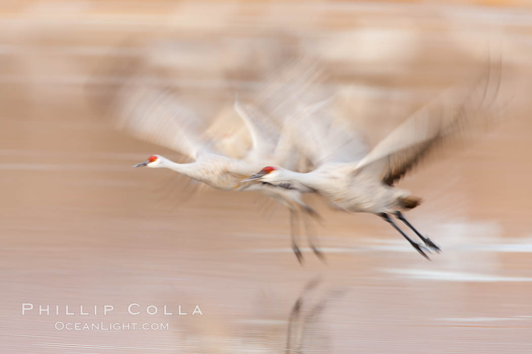 Sandhill cranes flying, wings blurred from long time exposure. Bosque Del Apache, Socorro, New Mexico, USA, Grus canadensis, natural history stock photograph, photo id 26245