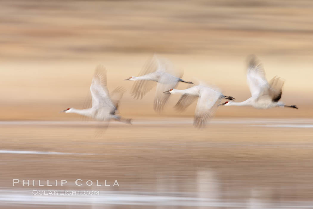 Sandhill cranes flying, wings blurred from long time exposure. Bosque Del Apache, Socorro, New Mexico, USA, Grus canadensis, natural history stock photograph, photo id 26273
