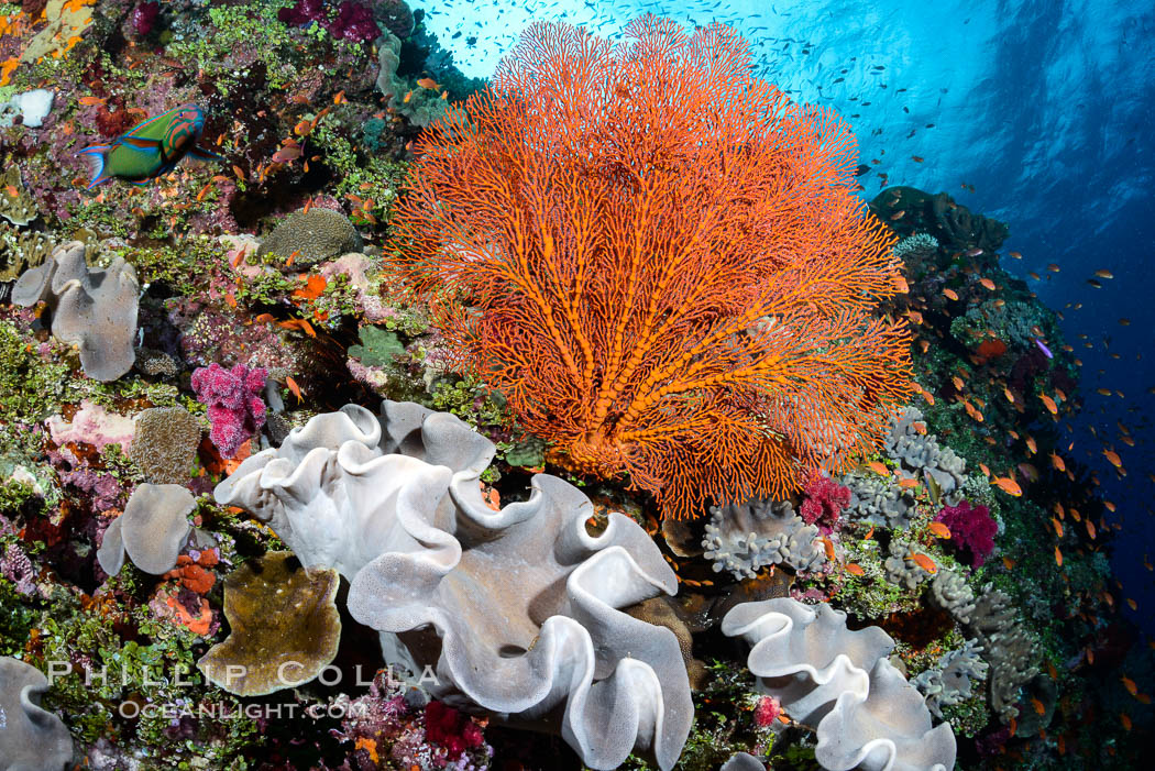Sarcophyton leather coral and sea fan gorgonian on pristine coral reef, Fiji., Sarcophyton, Gorgonacea, Plexauridae, natural history stock photograph, photo id 31446