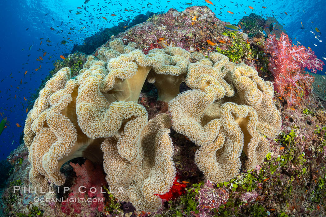 Sarcophyton leather coral on coral reef, Fiji, Sarcophyton, Gau Island, Lomaiviti Archipelago