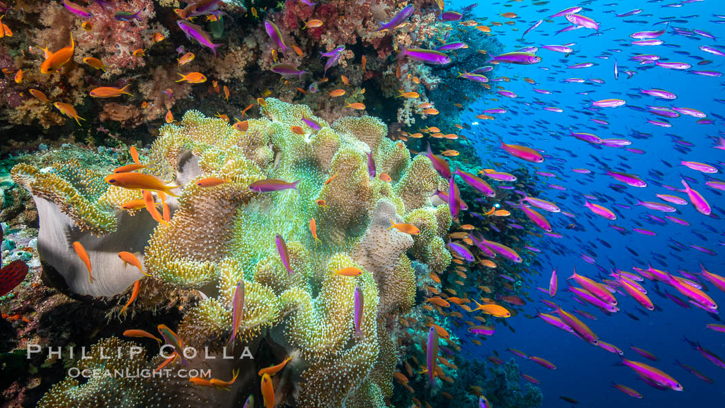 Sarcophyton leather coral on coral reef, Fiji. Bligh Waters, Sarcophyton, natural history stock photograph, photo id 34987