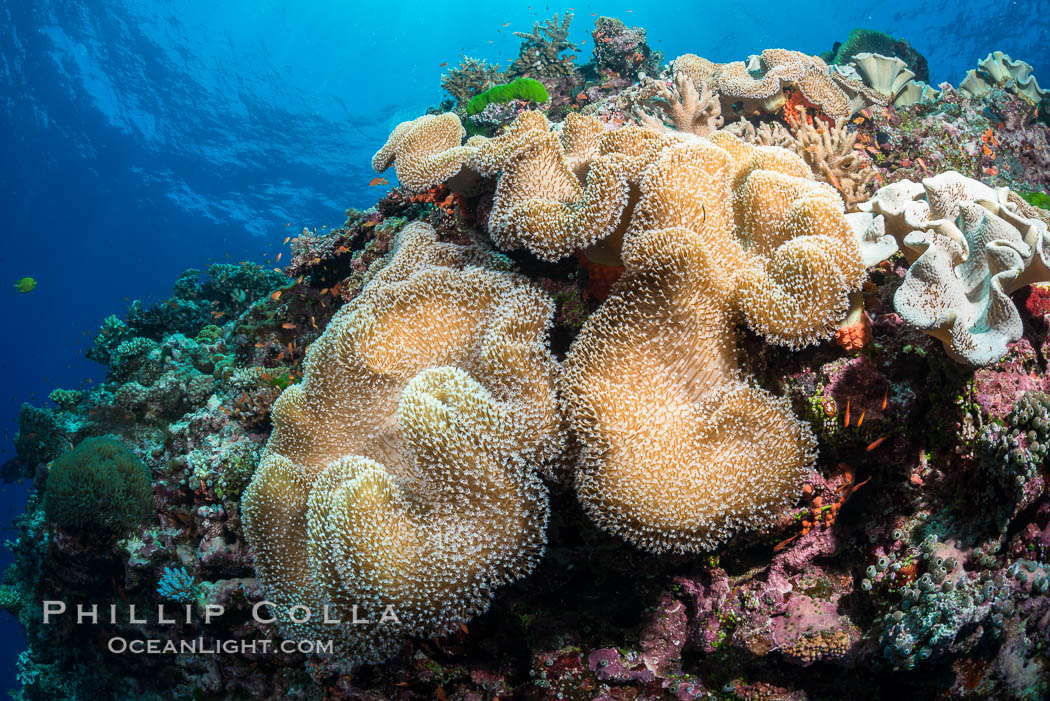 Sarcophyton leather coral on diverse coral reef, Fiji. Vatu I Ra Passage, Bligh Waters, Viti Levu  Island, Sarcophyton, natural history stock photograph, photo id 31495