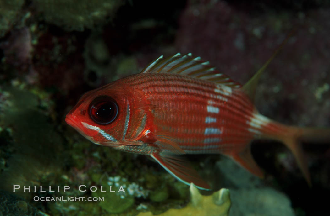 Squirrelfish. Roatan, Honduras, Sargocentron, natural history stock photograph, photo id 07087