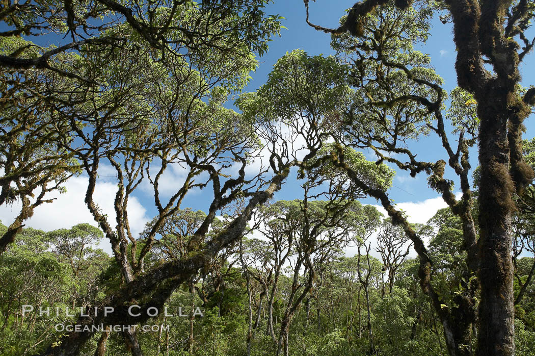 Scalesia forest, highlands of Santa Cruz Island near Twin Craters. Galapagos Islands, Ecuador, Scalesia, natural history stock photograph, photo id 16700
