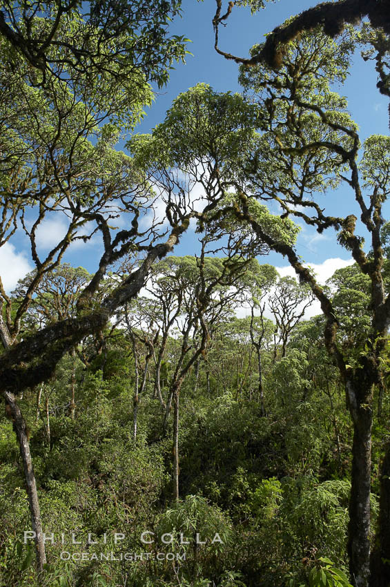 Scalesia forest, highlands of Santa Cruz Island near Twin Craters. Galapagos Islands, Ecuador, Scalesia, natural history stock photograph, photo id 16701