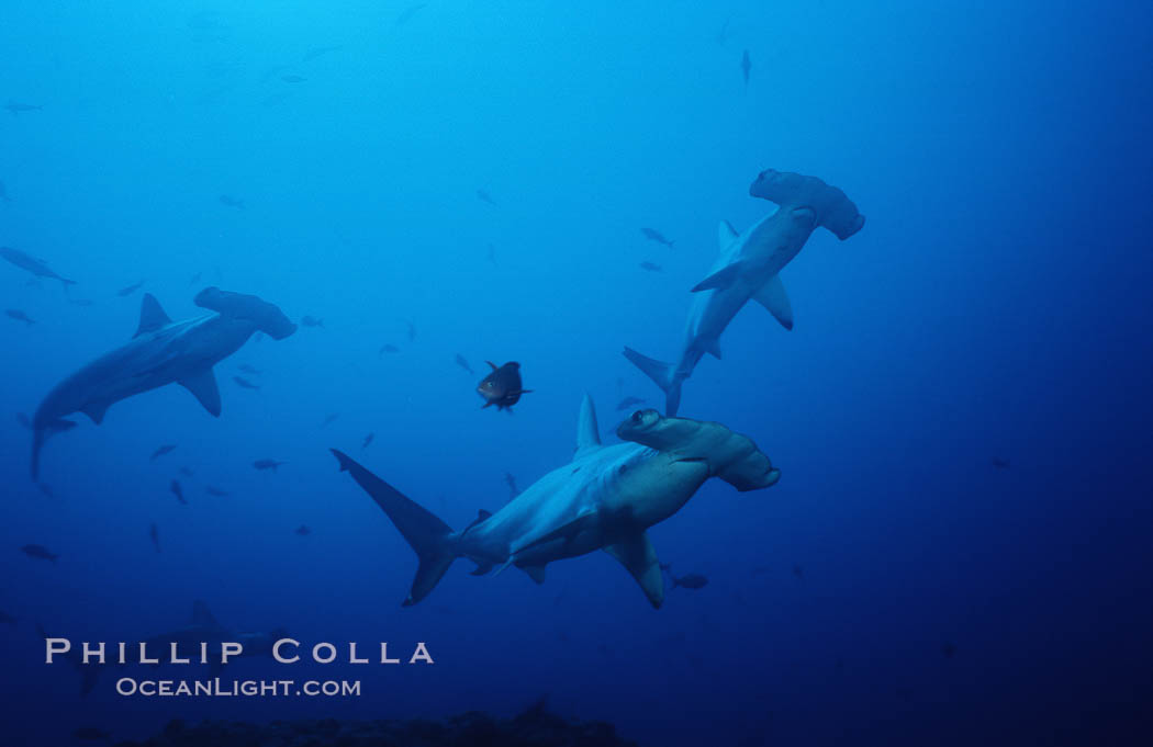 Image 03218, Scalloped hammerhead shark. Cocos Island, Costa Rica, Sphyrna lewini, Phillip Colla, all rights reserved worldwide. Keywords: animal, animalia, carcharhiniformes, chondrichthyes, chordata, cluster, cocos island, cocos island national park, cornuda, costa rica, danger, elasmobranch, elasmobranchii, fear, fish, fishes, group, hammerhead, hammerhead shark, jaws, lewini, marine, nature, ocean, oceans, outdoors, outside, pacific, predator, risk, scalloped hammer head shark, scalloped hammerhead, scalloped hammerhead shark, school, schooling, sea, shark, shark behavior, sphyrna, sphyrna lewini, sphyrnidae, submarine, tiburon martillo, underwater, vertebrata, wildlife, world heritage sites.