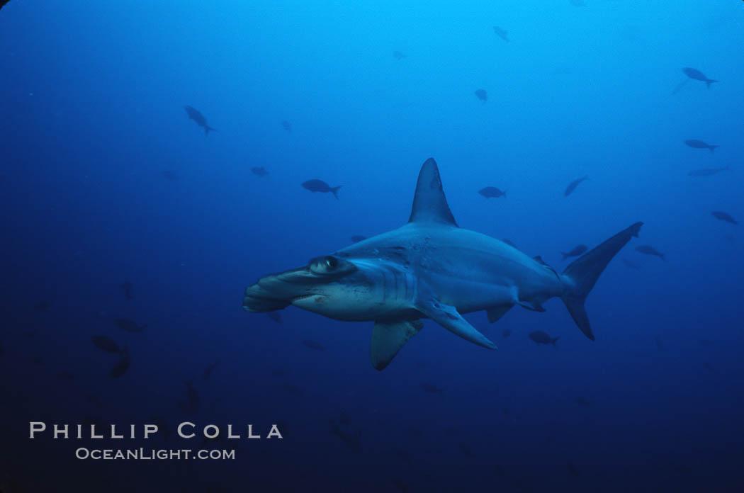 Scalloped hammerhead shark. Cocos Island, Costa Rica, Sphyrna lewini, natural history stock photograph, photo id 03246