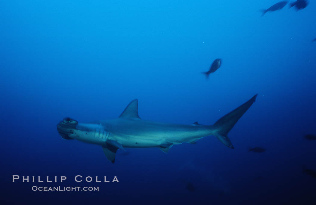 Image 03212, Scalloped hammerhead shark. Cocos Island, Costa Rica, Sphyrna lewini, Phillip Colla, all rights reserved worldwide. Keywords: animal, animalia, carcharhiniformes, chondrichthyes, chordata, cocos island, cocos island national park, cornuda, costa rica, danger, elasmobranch, elasmobranchii, fear, hammerhead, hammerhead shark, jaws, lewini, marine, ocean, oceans, outdoors, outside, pacific, predator, risk, scalloped hammer head shark, scalloped hammerhead, scalloped hammerhead shark, sea, shark, sphyrna, sphyrna lewini, sphyrnidae, submarine, tiburon martillo, underwater, vertebrata, wildlife, world heritage sites.