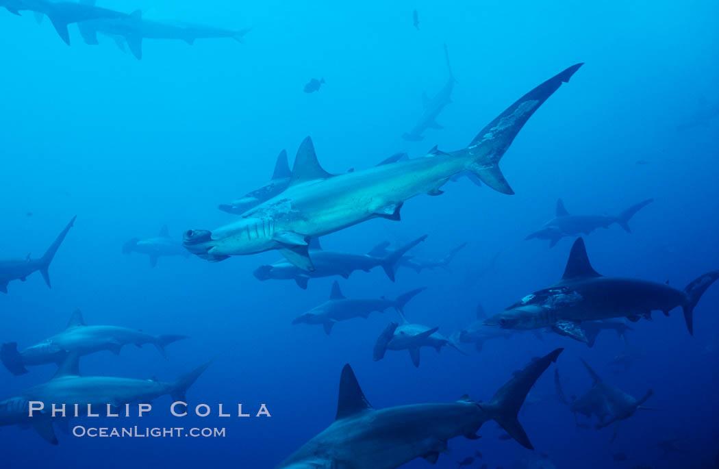 Scalloped hammerhead shark. Cocos Island, Costa Rica, Sphyrna lewini, natural history stock photograph, photo id 03216