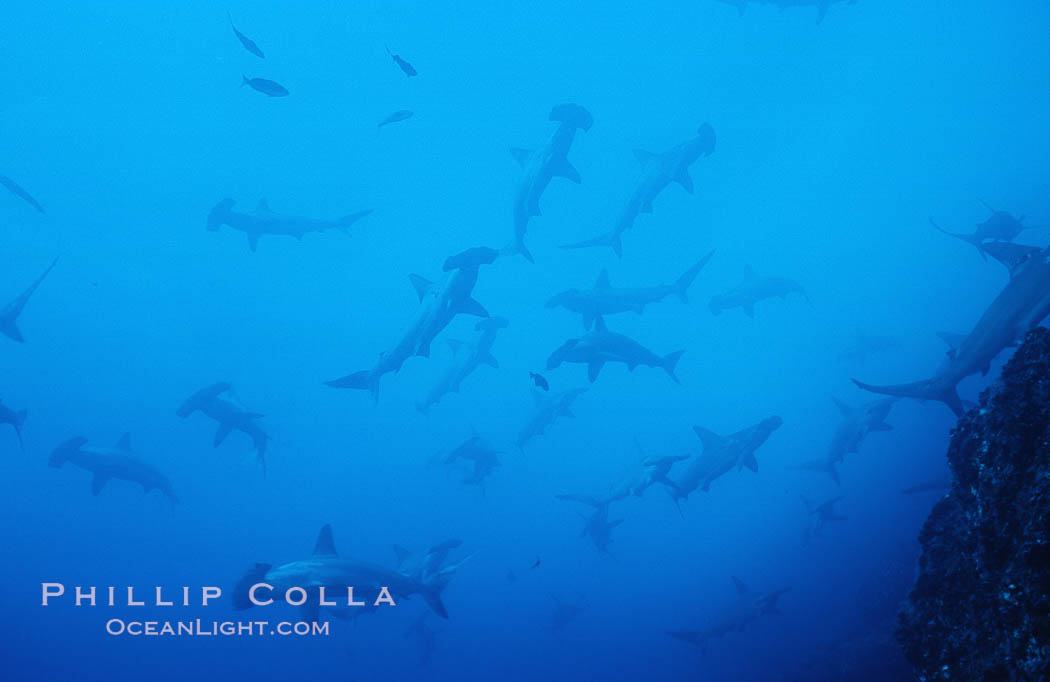 Scalloped hammerhead shark. Cocos Island, Costa Rica, Sphyrna lewini, natural history stock photograph, photo id 03220