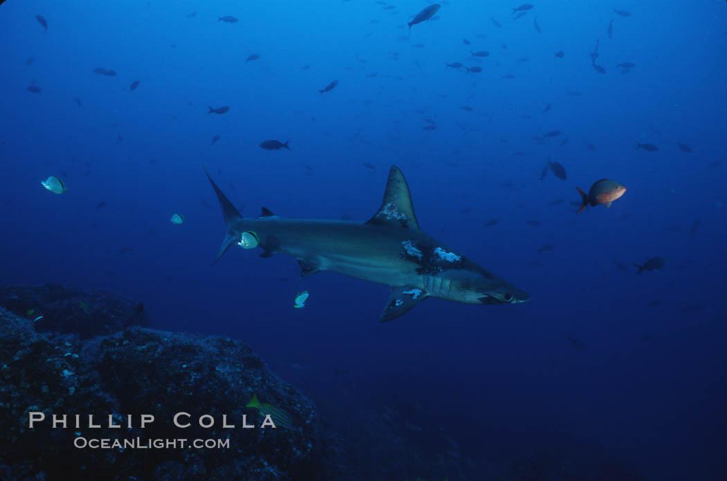 Scalloped hammerhead shark. Cocos Island, Costa Rica, Sphyrna lewini, natural history stock photograph, photo id 03248