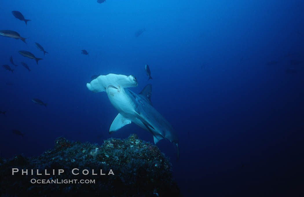 Scalloped hammerhead shark. Cocos Island, Costa Rica, Sphyrna lewini, natural history stock photograph, photo id 03195