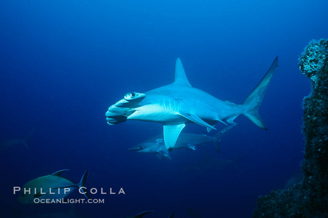 Scalloped hammerhead shark. Cocos Island, Costa Rica, Sphyrna lewini, natural history stock photograph, photo id 03199