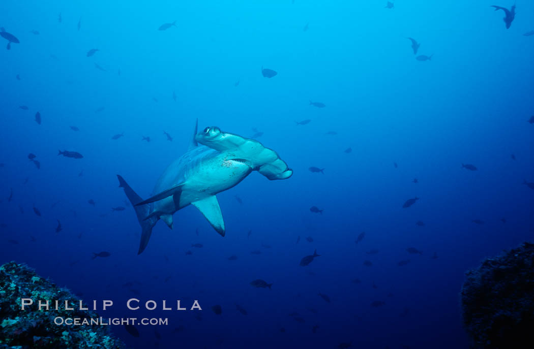 Scalloped hammerhead shark. Cocos Island, Costa Rica, Sphyrna lewini, natural history stock photograph, photo id 03193