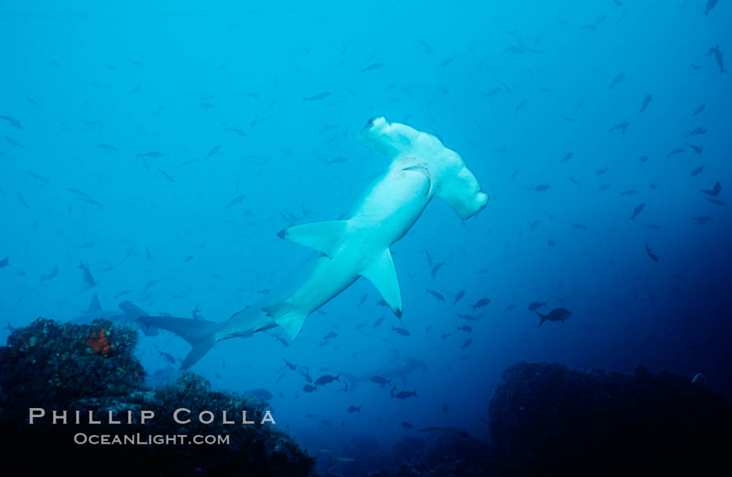 Scalloped hammerhead shark. Cocos Island, Costa Rica, Sphyrna lewini, natural history stock photograph, photo id 03197
