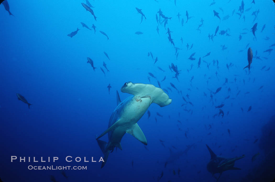 Image 03241, Scalloped hammerhead shark. Cocos Island, Costa Rica, Sphyrna lewini, Phillip Colla, all rights reserved worldwide. Keywords: animal, animalia, carcharhiniformes, chondrichthyes, chordata, cocos island, cocos island national park, cornuda, costa rica, danger, elasmobranch, elasmobranchii, fear, hammerhead, hammerhead shark, jaws, lewini, marine, ocean, oceans, outdoors, outside, pacific, predator, risk, scalloped hammer head shark, scalloped hammerhead, scalloped hammerhead shark, sea, shark, sphyrna, sphyrna lewini, sphyrnidae, submarine, tiburon martillo, underwater, vertebrata, wildlife, world heritage sites.