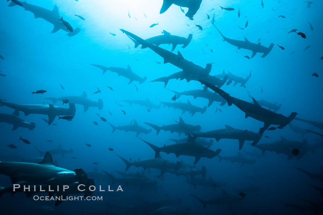 Hammerhead sharks, schooling, black and white / grainy. Darwin Island, Galapagos Islands, Ecuador, Sphyrna lewini, natural history stock photograph, photo id 16298