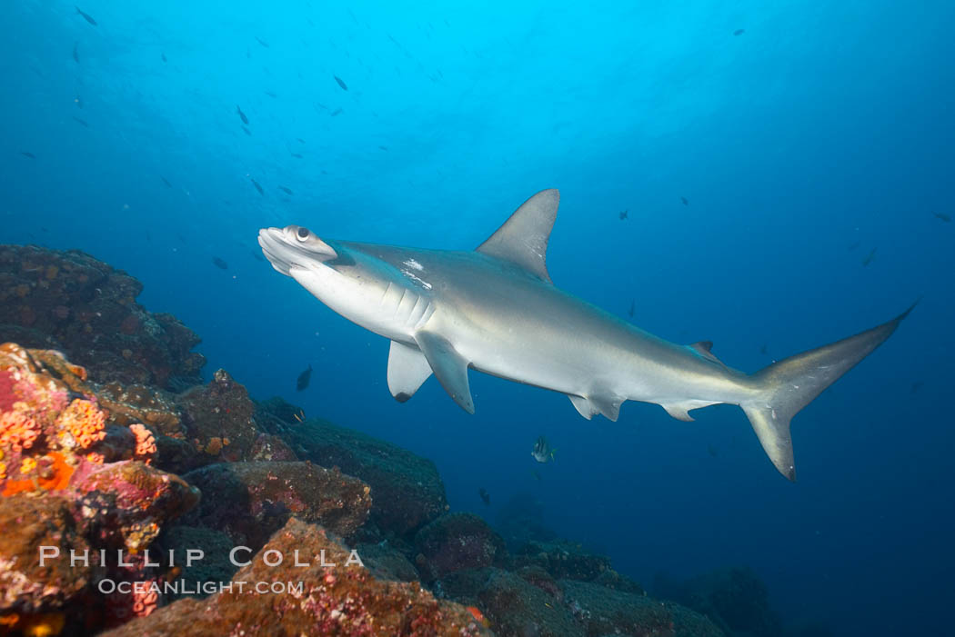 Scalloped hammerhead shark. Wolf Island, Galapagos Islands, Ecuador, Sphyrna lewini, natural history stock photograph, photo id 16302