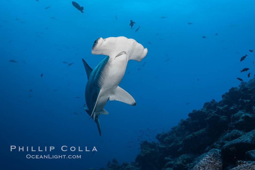Scalloped hammerhead shark. Wolf Island, Galapagos Islands, Ecuador, Sphyrna lewini, natural history stock photograph, photo id 18602