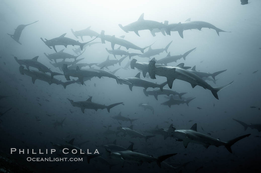 Hammerhead sharks, schooling, black and white / grainy. Darwin Island, Galapagos Islands, Ecuador, Sphyrna lewini, natural history stock photograph, photo id 18610