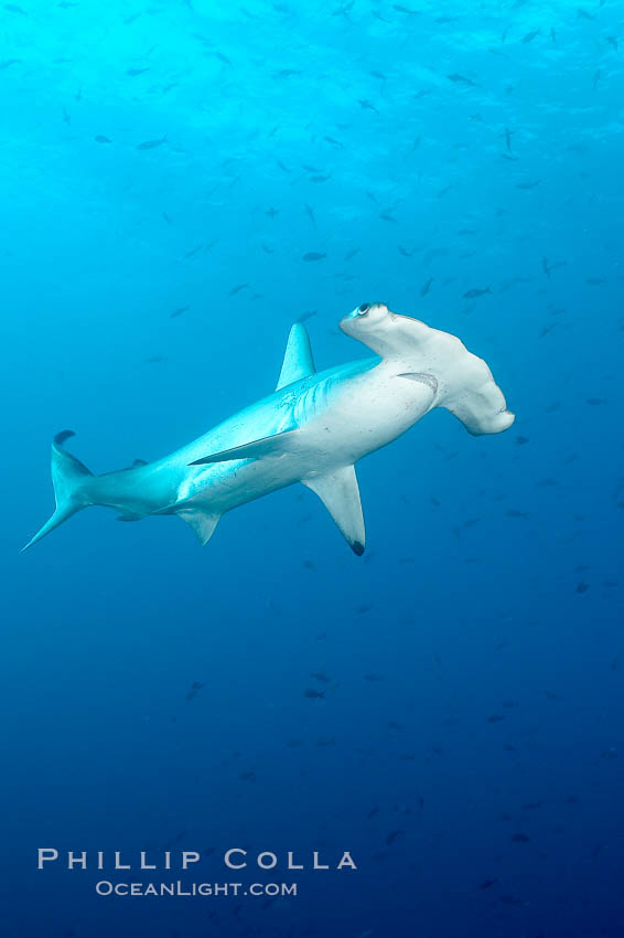 Scalloped hammerhead shark. Wolf Island, Galapagos Islands, Ecuador, Sphyrna lewini, natural history stock photograph, photo id 16300