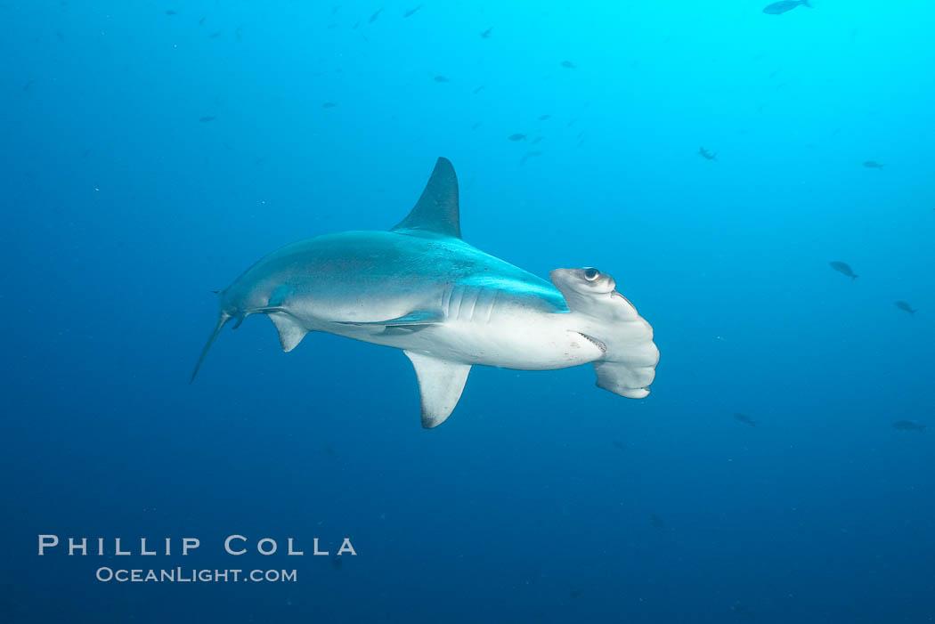 Scalloped hammerhead shark. Wolf Island, Galapagos Islands, Ecuador, Sphyrna lewini, natural history stock photograph, photo id 16304