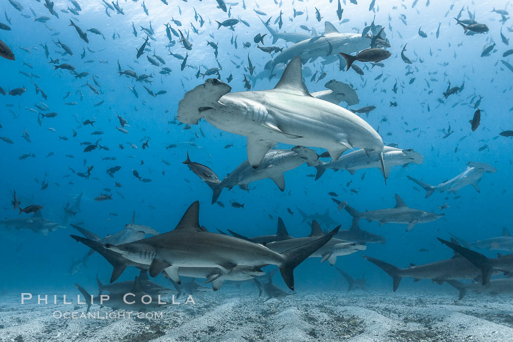 Hammerhead sharks, schooling, black and white / grainy. Darwin Island, Galapagos Islands, Ecuador, Sphyrna lewini, natural history stock photograph, photo id 18604
