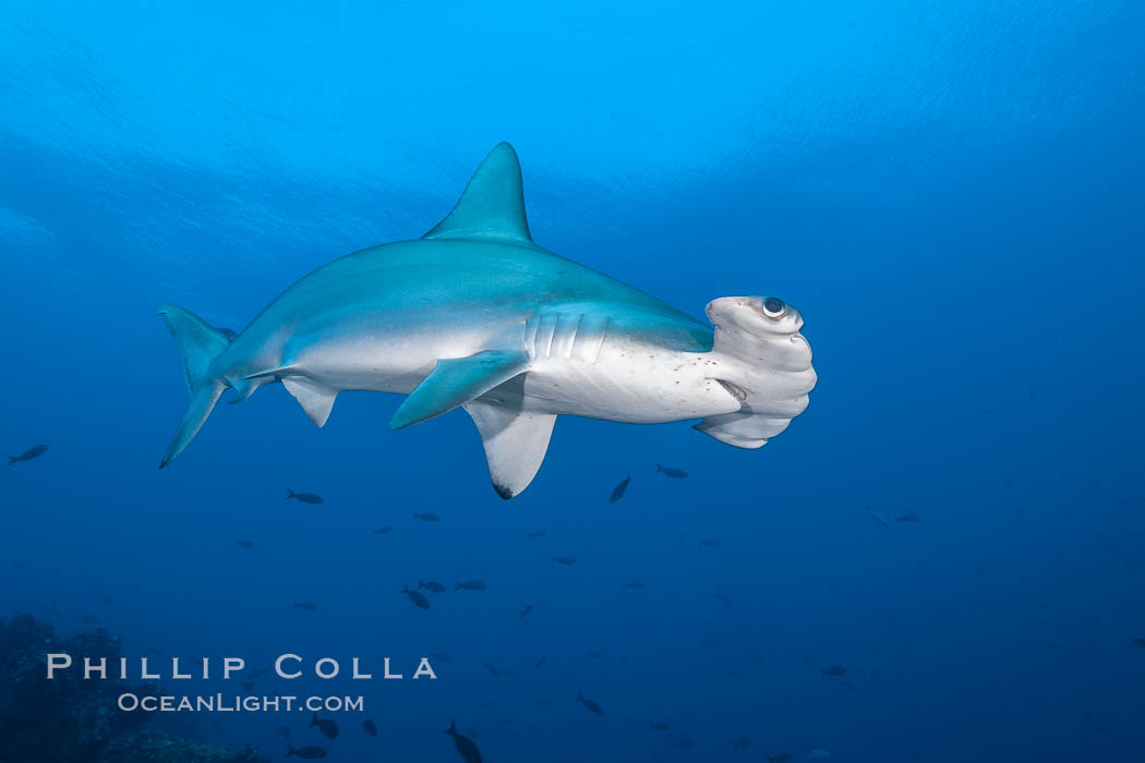 Scalloped hammerhead shark. Darwin Island, Galapagos Islands, Ecuador, Sphyrna lewini, natural history stock photograph, photo id 16307