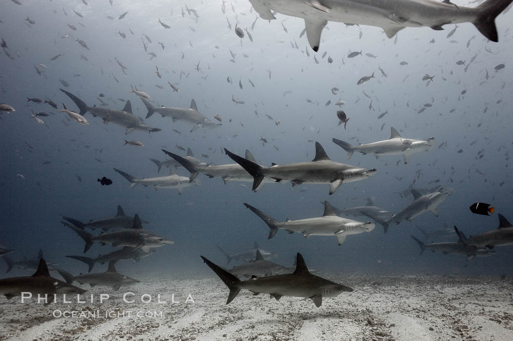 Hammerhead sharks, schooling, black and white / grainy. Darwin Island, Galapagos Islands, Ecuador, Sphyrna lewini, natural history stock photograph, photo id 18607