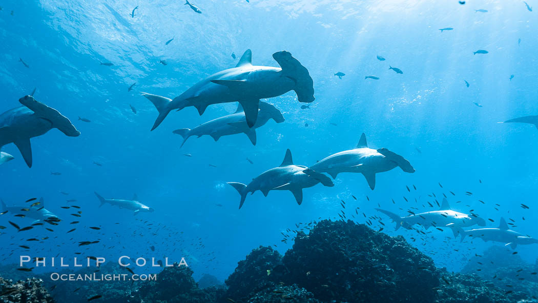 Hammerhead sharks, schooling, black and white / grainy. Darwin Island, Galapagos Islands, Ecuador, Sphyrna lewini, natural history stock photograph, photo id 18611
