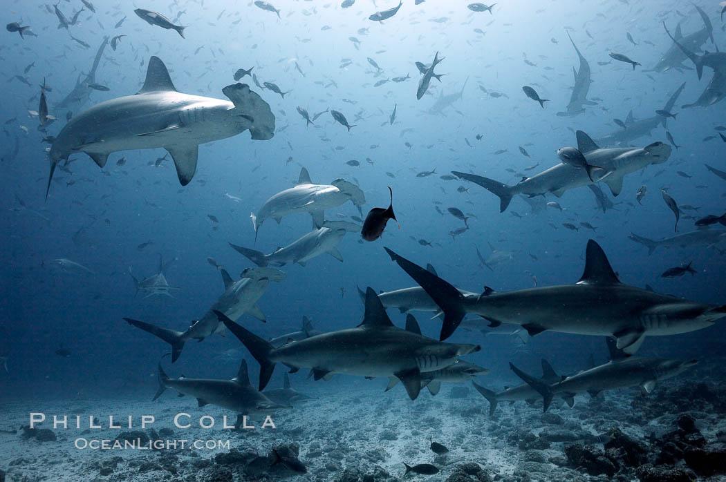 Hammerhead sharks, schooling, black and white / grainy. Darwin Island, Galapagos Islands, Ecuador, Sphyrna lewini, natural history stock photograph, photo id 18605